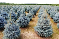 Grupa Kapias - Picea pungens 'Kaibab'