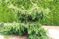 Grupa Kapias - Picea abies 'Acrocona'