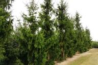 Grupa  Kapias - Picea abies 'Cincinnata'