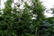 Grupa  Kapias - Picea abies 'Virgata'