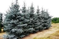Grupa Kapias - Picea pungens 'Hoopsii'