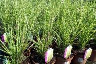 Grupa Kapias - trawy ozdobne w odmianach