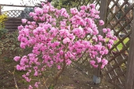 Grupa Kapias Rhododendron