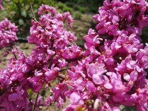 Grupa Kapias Cercis canadensis 'Forest Pansy'