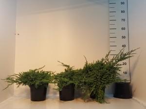 Grupa Kapias Juniperus squam. Blue Carpet