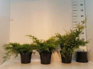 Grupa Kapias Juniperus Old Gold