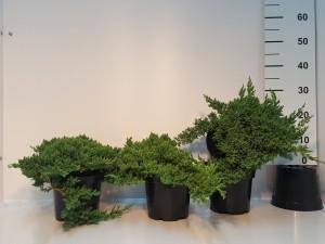 Grupa Kapias Juniperus proc. Nana