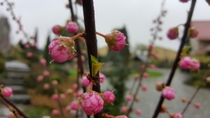 Grupa Kapias Prunus Triloba