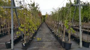Grupa Kapias drzewa w pojemnikach