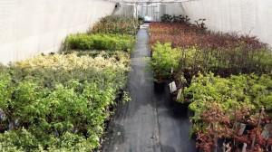Grupa Kapias rośliny ozdobne