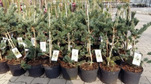 Grupa Kapias sosny Pinus parviflora Negishi