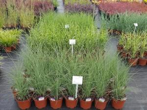 Grupa Kapias trawy w odmianach