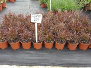 Grupa Kapias trawy (Pennisetum Rubrum Dwarf)