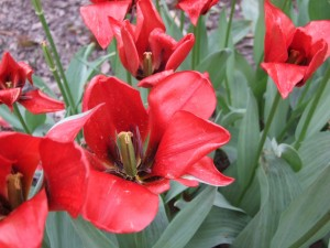Grupa Kapias tulipany